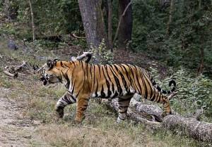 Tiger, Bandhavgarh